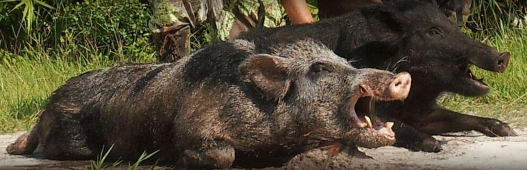 Picture of a hog taken by an in-line muzzleloader